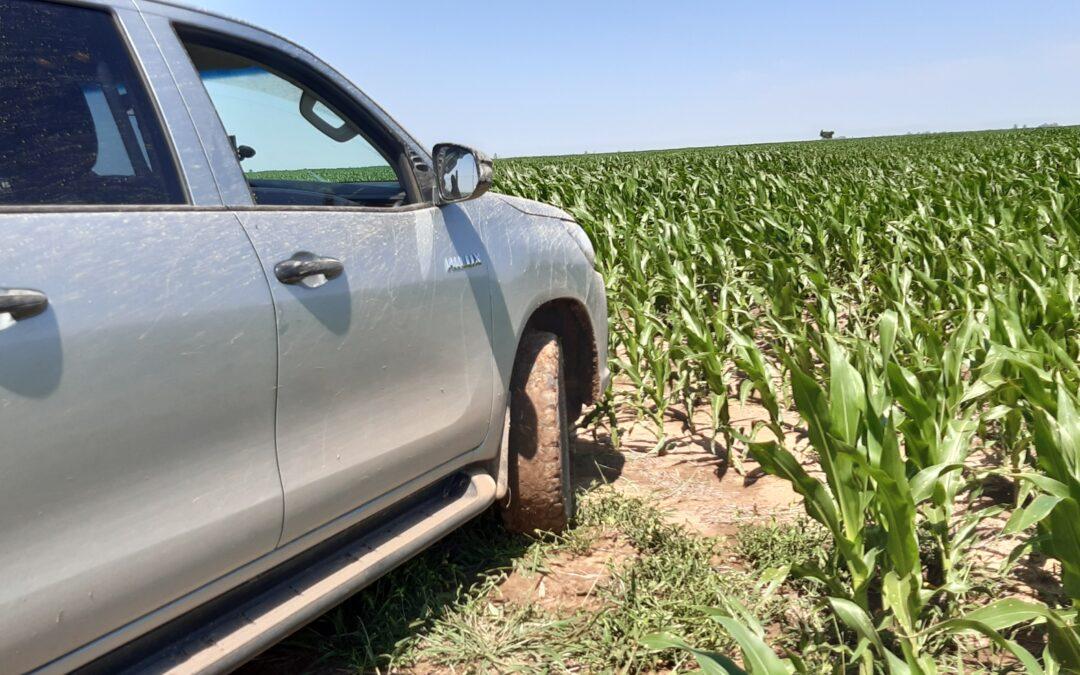 Campo con cultivos de maíz