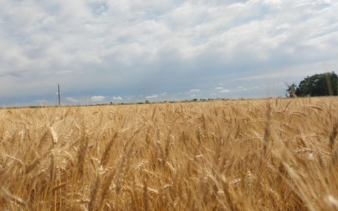 Fotografía de trigo