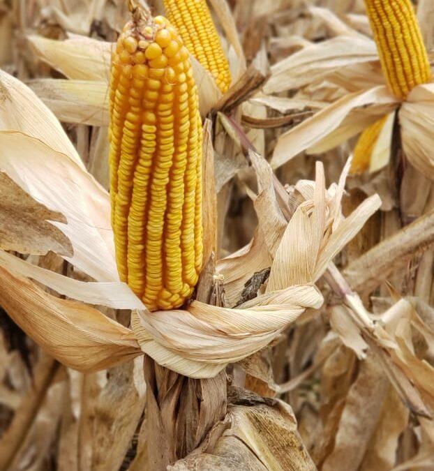 Fotografía de maíz