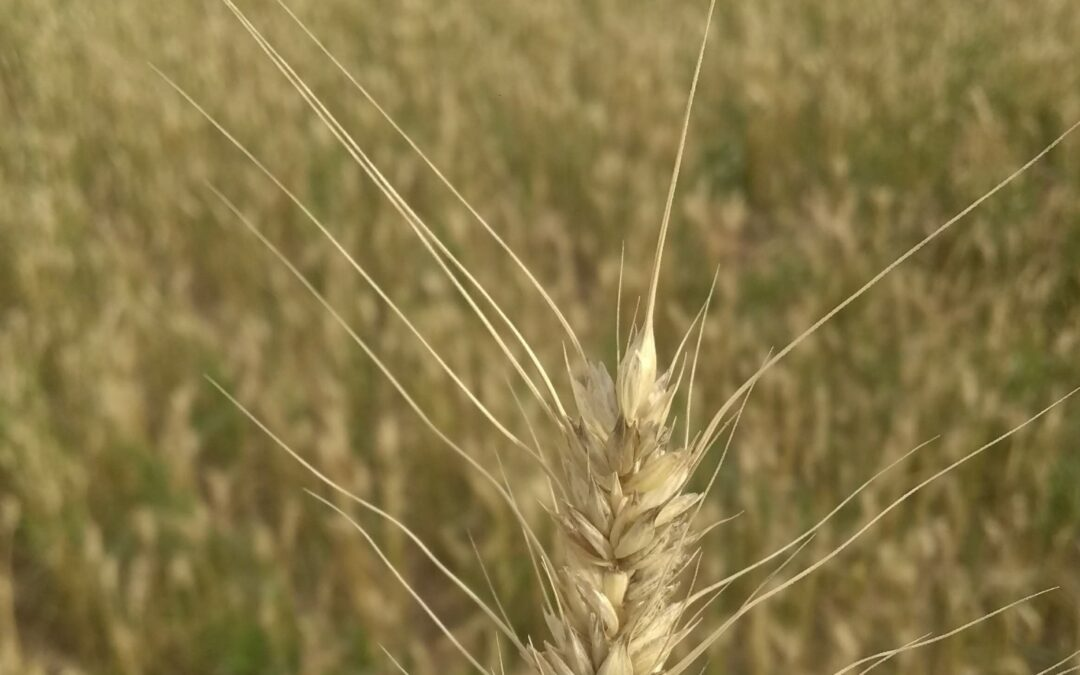 espiga trigo madurez cosecha